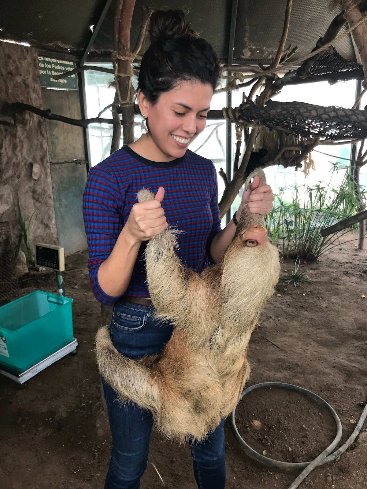 A three-toed sloth (Bradypus variegatus)