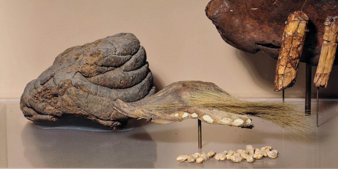 M. darwinii fossils on display